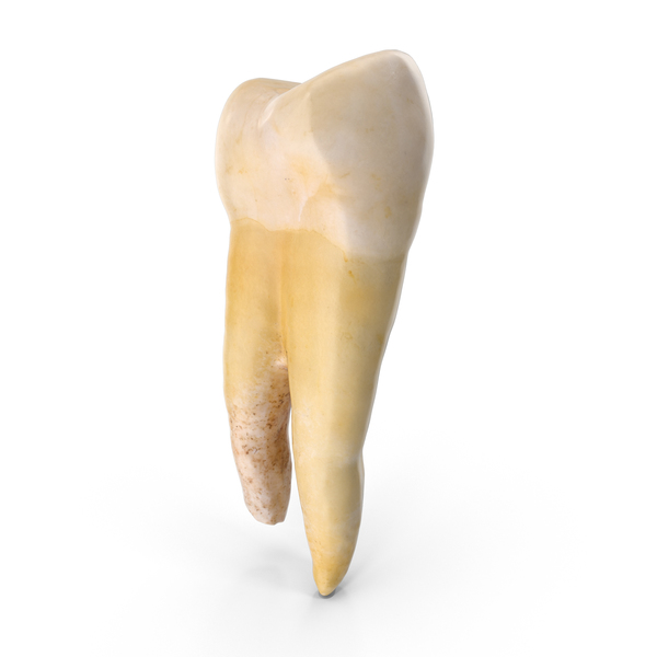 Molar Lower Jaw Left PNG & PSD Images