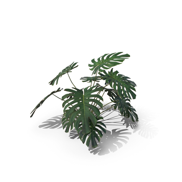 Monstera Deliciosa PNG & PSD Images
