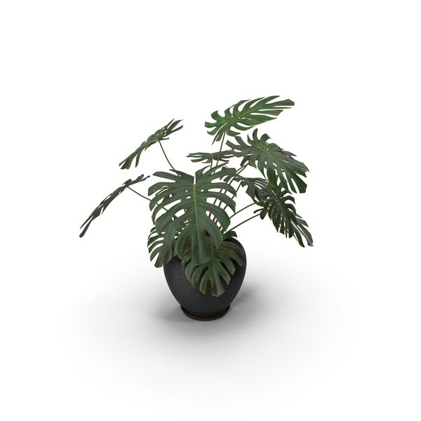 Monstera Deliciosa With Pot Black PNG & PSD Images