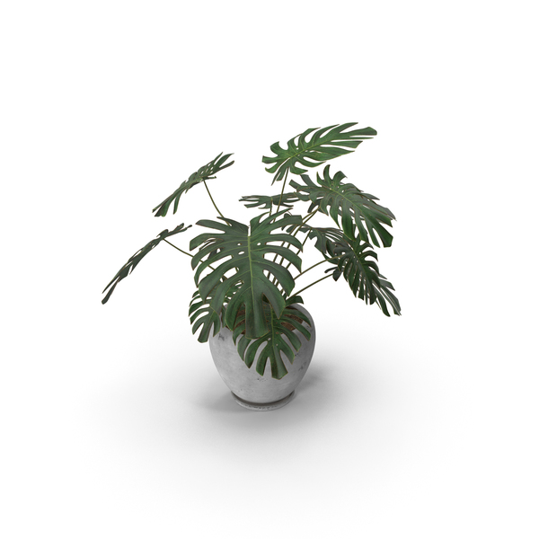 Plant: Monstera Deliciosa With Pot White PNG & PSD Images