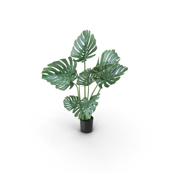 Plant: Monstera PNG & PSD Images