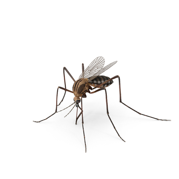 Mosquito PNG & PSD Images