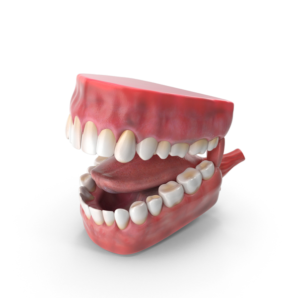 Mouth Anatomy PNG & PSD Images