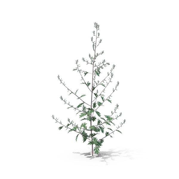 Flowering Plants: Mugwort PNG & PSD Images