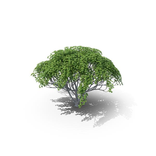 Myrtle Plant PNG & PSD Images