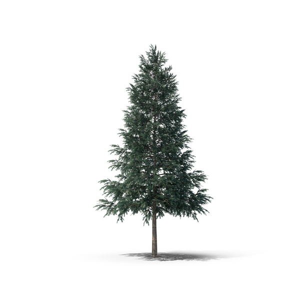Norway Spruce PNG & PSD Images