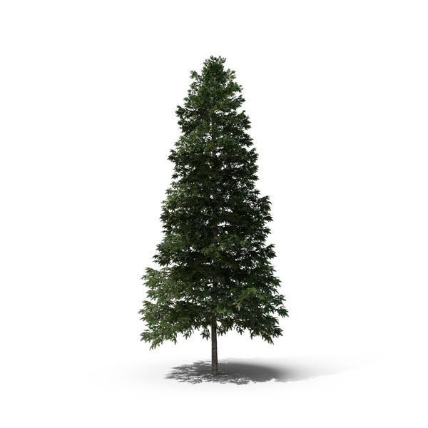Norway Spruce Tree PNG & PSD Images
