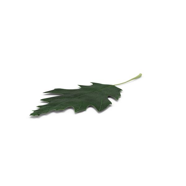 Oak Leaf PNG & PSD Images