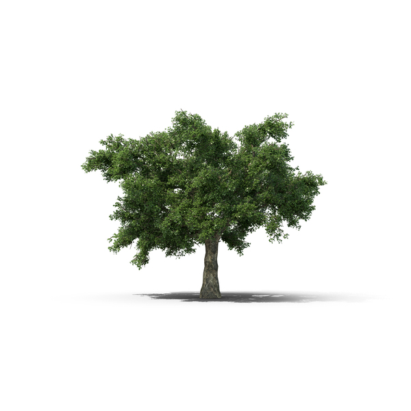 Oak Tree PNG & PSD Images