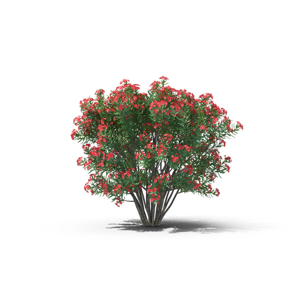 Oleander PNG & PSD Images