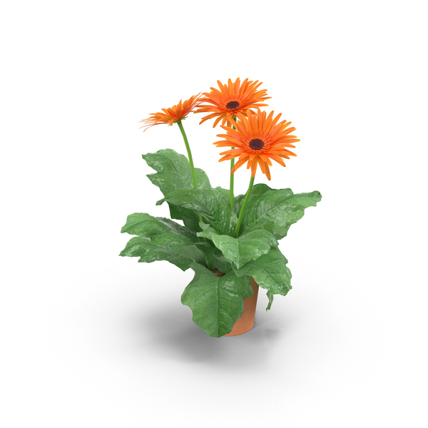 Daisy: Orange Daisies in Clay Pot PNG & PSD Images