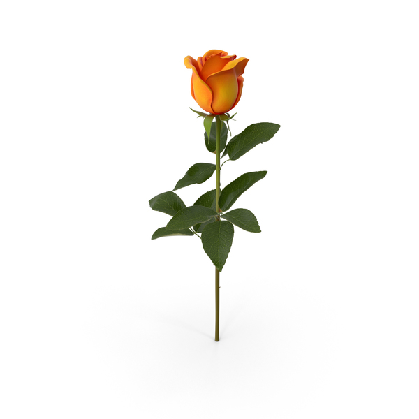 Orange Rose PNG & PSD Images