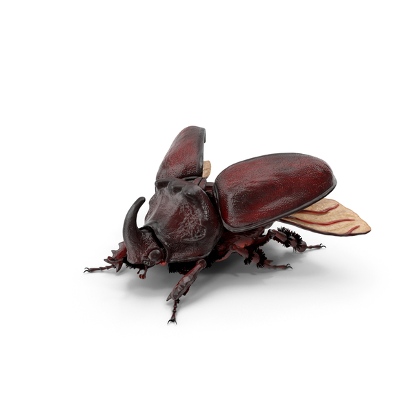 Oryctes Nasicornis Rhinoceros Beetle with Fur PNG & PSD Images