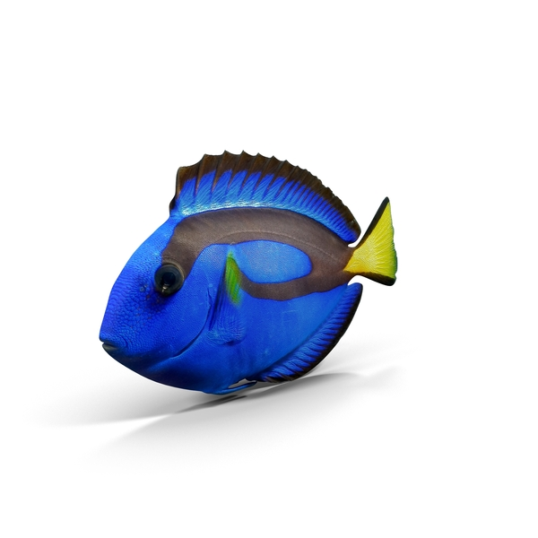 Fish: Pacific Blue Tang PNG & PSD Images