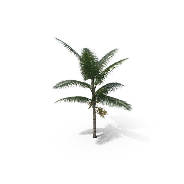 Palm Tee Acanthophoenix Crinita PNG & PSD Images
