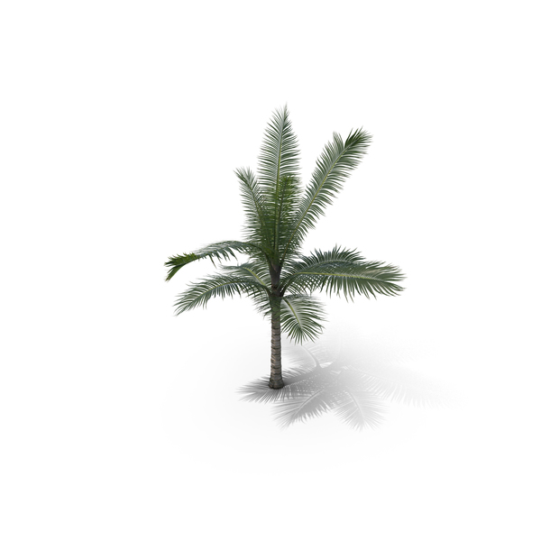 Palm Tree Acanth Phoenix Crinita PNG & PSD Images