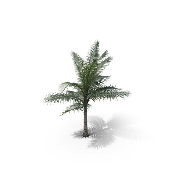 Palm Tree Acanthophoenix Crinita V04 PNG & PSD Images