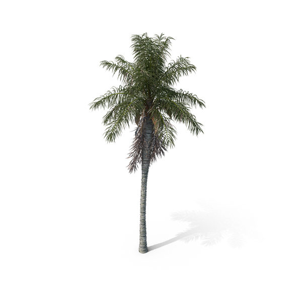 Palm Tree Acrocomia Aculeata PNG & PSD Images
