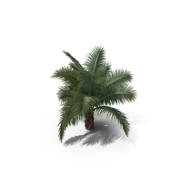 Palm Tree Beccariophoenix Alfredii PNG & PSD Images