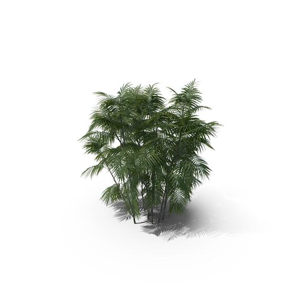 Palm Tree Chamaedorea Seifrizii PNG & PSD Images