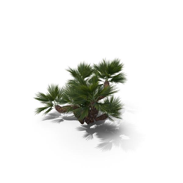Palm Tree Chamaerops Humilis PNG & PSD Images