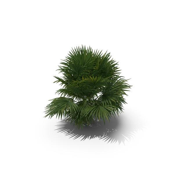 Palm Tree Chuniophoenix Hainanensis PNG & PSD Images