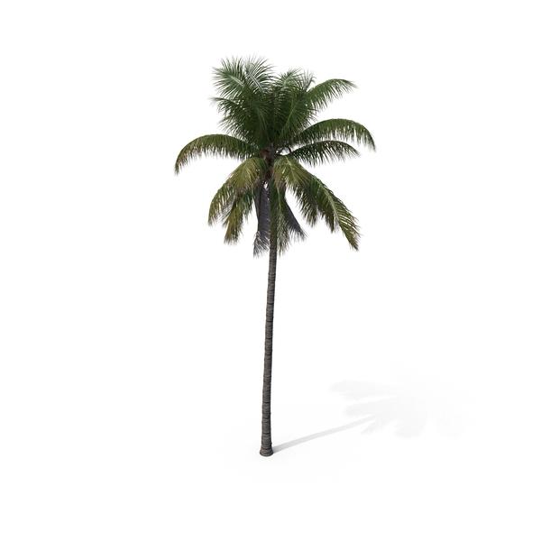 Palm Tree Cocos Nucifera PNG & PSD Images