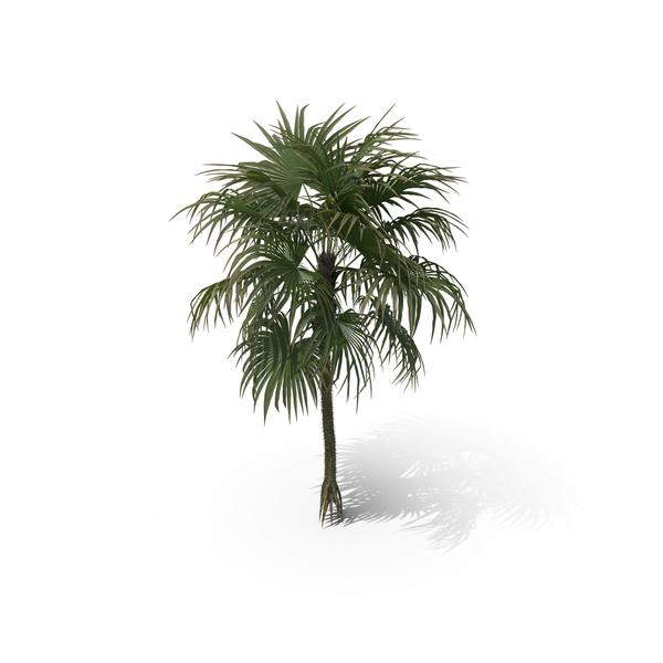 Palm Tree Cryosophila Warscewiczii PNG & PSD Images