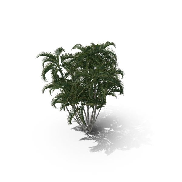 Palm Tree Dypsis Lutescens PNG & PSD Images