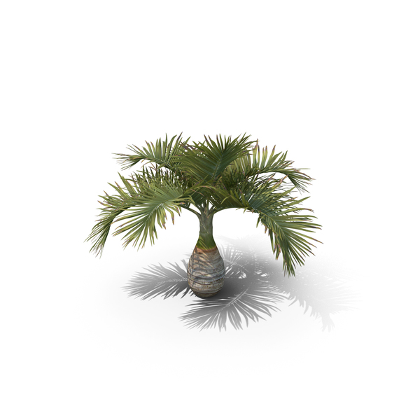 Palm Tree Hyophorbe Lagenicaulis PNG & PSD Images