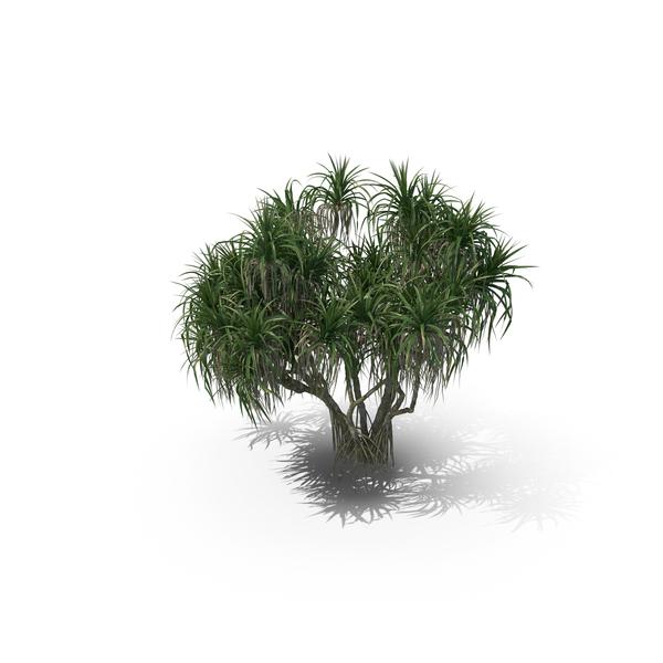 Palm Tree Pandanus Tectorius PNG & PSD Images