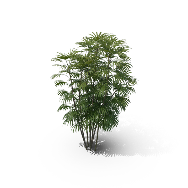 Palm Tree Rhapis Humilis PNG & PSD Images