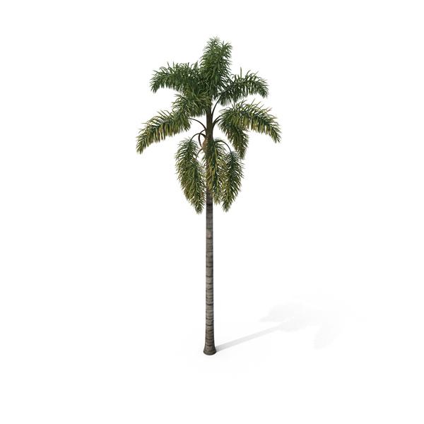 Palm Tree Syagrus Sancona PNG & PSD Images