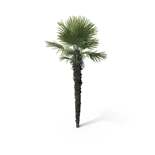 Palm Tree Trachycarpus Fortunei PNG & PSD Images
