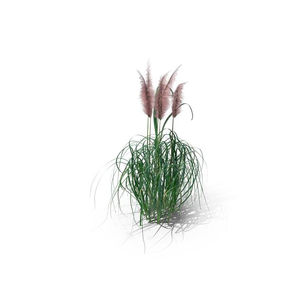 Pampas Grass (Cortaderia Jubata) PNG & PSD Images