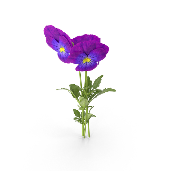 Pansies PNG & PSD Images