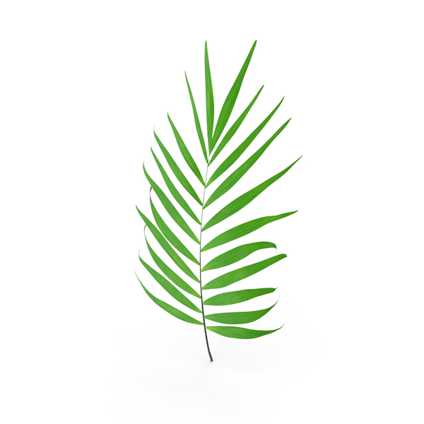 Parlour Palm Branch PNG & PSD Images