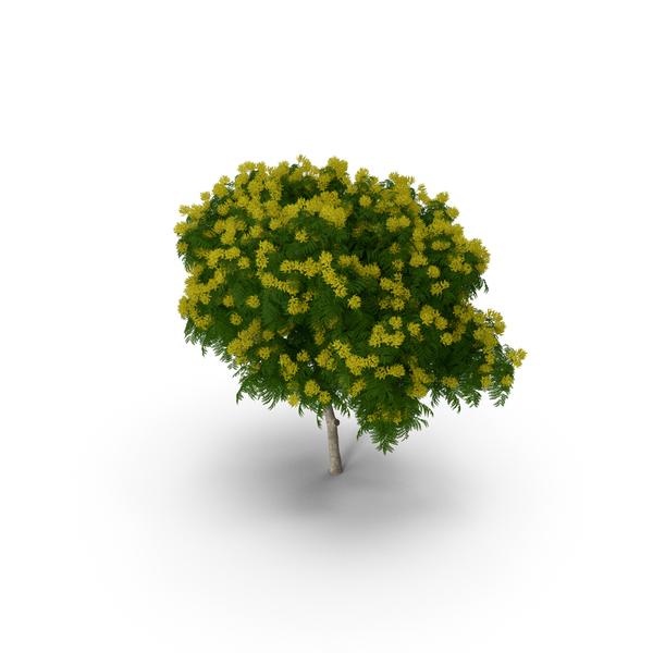 Flowering: Peltophorum Pterocarpum Tree with Flowers PNG & PSD Images