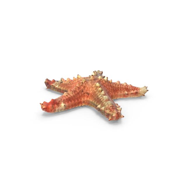 Sea Star: Pentaceraster Alveolatus Starfish PNG & PSD Images