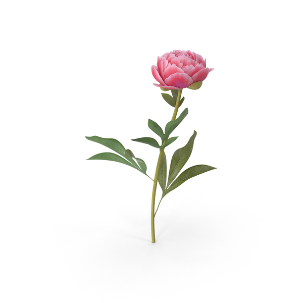 Peony PNG & PSD Images
