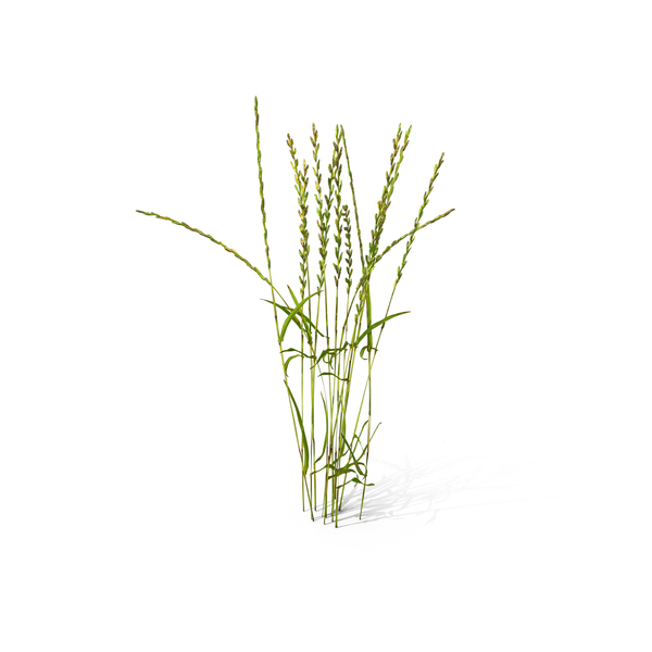Perennial Rye-grass (Lolium Perenne) PNG & PSD Images
