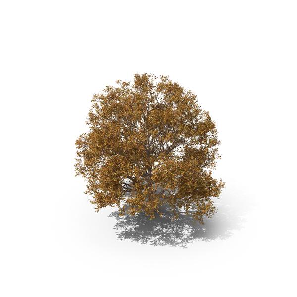 Persian Ironwood Tree PNG & PSD Images