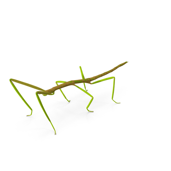 Phasmatodea Stick Insect PNG & PSD Images