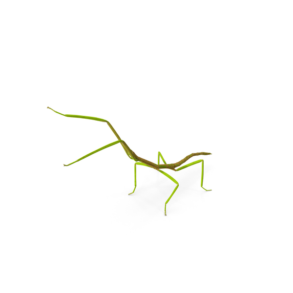 Phasmatodea Stick Insect Attack PNG & PSD Images