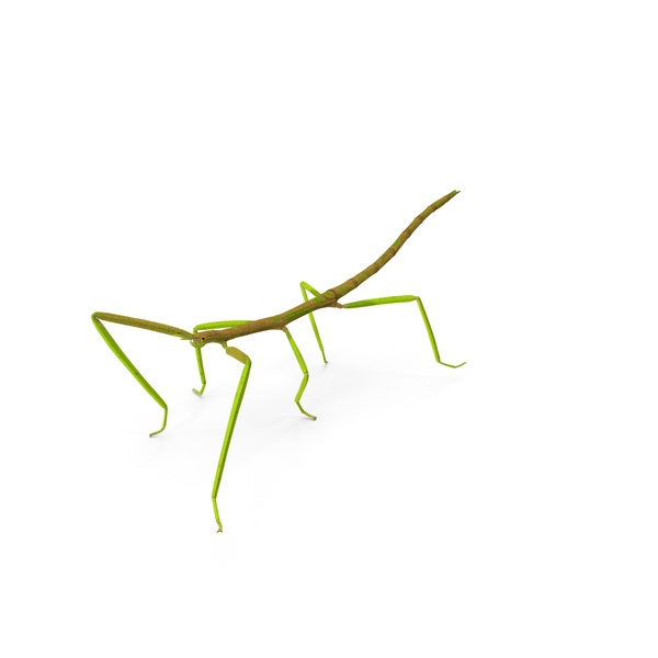 Phasmatodea Stick Insect Walking PNG & PSD Images