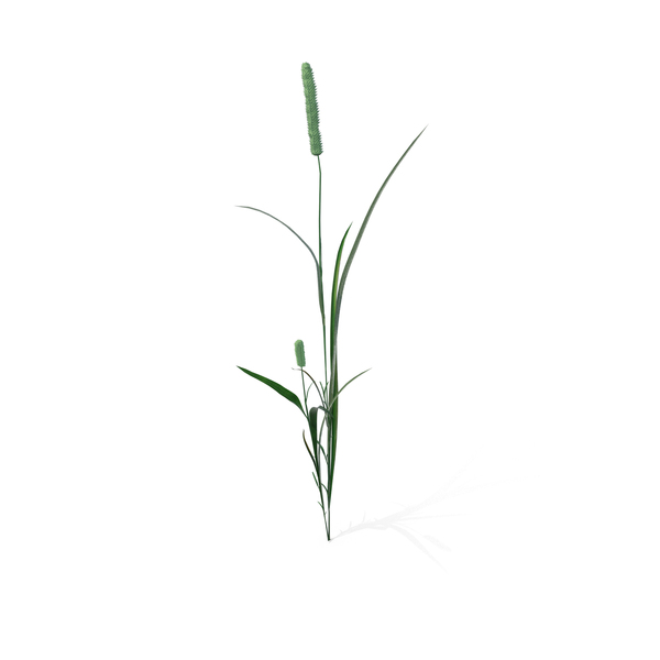 Cattails: Phleum Pratense PNG & PSD Images