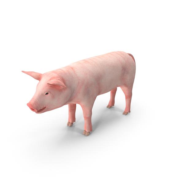 Pig Piglet Landrace PNG & PSD Images