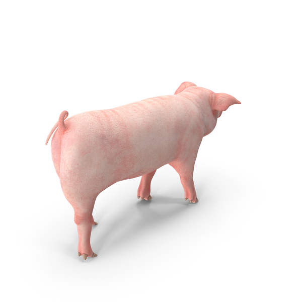 Pig Piglet Landrace Walking Pose PNG & PSD Images