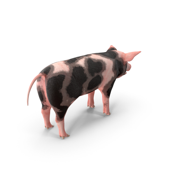 Pig Piglet Pietrain PNG & PSD Images
