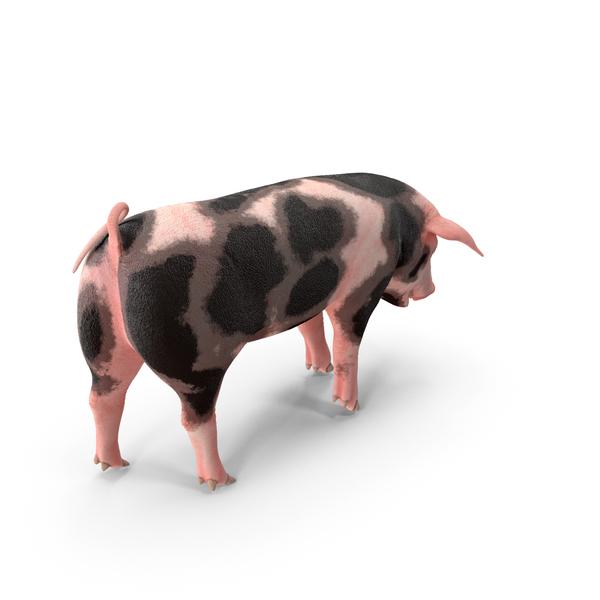 Pig Piglet Pietrain Standing Pose PNG & PSD Images